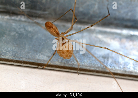 Female cellar spider with egg sac (Pholcus phalangioides) - Stock Photo