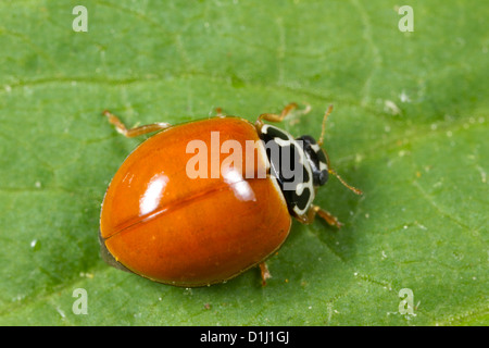 Spotless Lady Beetle (Cycloneda munda) - Stock Photo