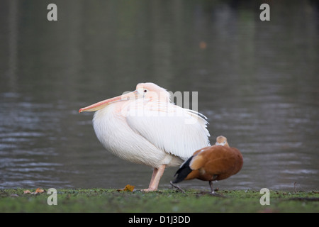 pelicans on the lake in London England American White Pelican Great White Pelican Pelecanus onocrotalus - Stock Photo