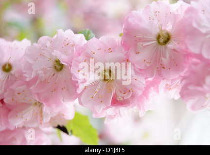 Pink prunus flower spring bush blossoming flower stock photo exotic bush has blossomed pink flowers almonds trilobate stock photo mightylinksfo
