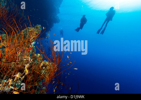 A group of scuba divers in silhouette swim next to a whip coral on a deep reef wall - Stock Photo