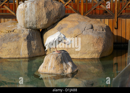 Portrait of great white pelican standing on boulder on water at the zoo - Stock Photo