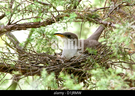 Yellow-billed Cuckoo on nest - Stock Photo