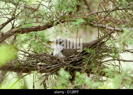 Yellow-billed Cuckoo on nest - Stock Photo