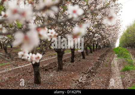 Almond plantation, close up of an almond blossoms Photographed in Israel - Stock Photo