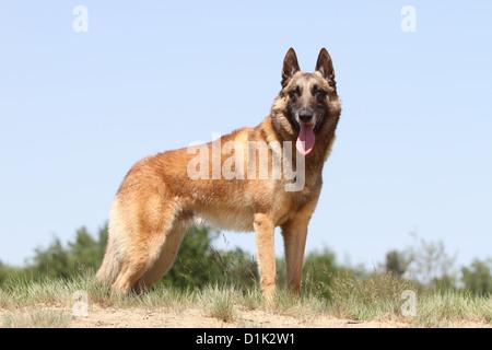 Dog Belgian shepherd Malinois adult standing - Stock Photo