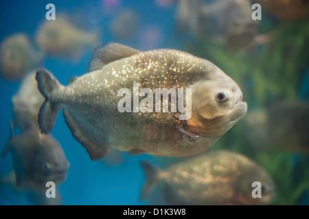 Piranha fishes - Stock Photo