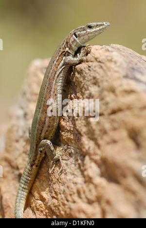 Iberian Wall Lizard (Podarcis hispanica) in Monfrague National Park, Spain - Stock Photo