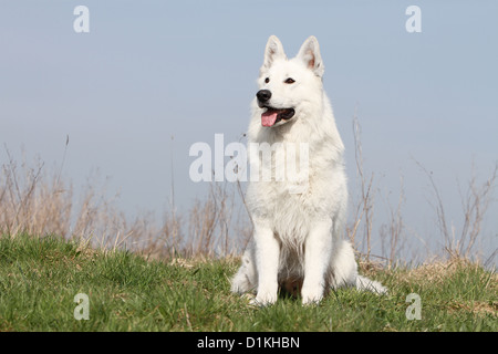 White Swiss Shepherd Dog / Berger blanc suisse  adult sitting in a meadow - Stock Photo