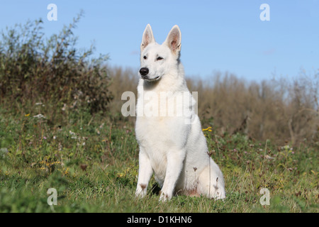 White Swiss Shepherd Dog / Berger blanc suisse  adult shorhair sitting in a meadow - Stock Photo