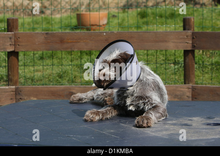 Dog Korthals Griffon puppy with a protective cone - Stock Photo