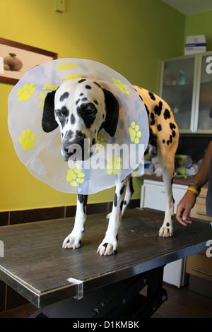 Dog veterinary vet  Dalmatian with a protective cone - Stock Photo