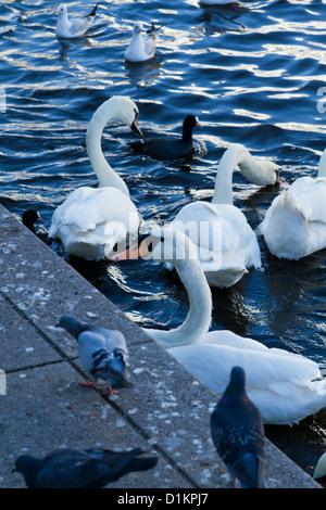 Swans floating on the Inner Alster Lake in Hamburg, Germany - Stock Photo
