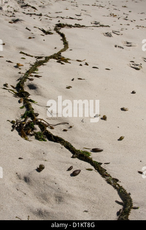 A strand of kelp found on Carmel Beach in California. - Stock Photo
