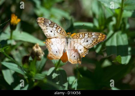 White Peacock (Anartia jatrophae) butterfly - Stock Photo