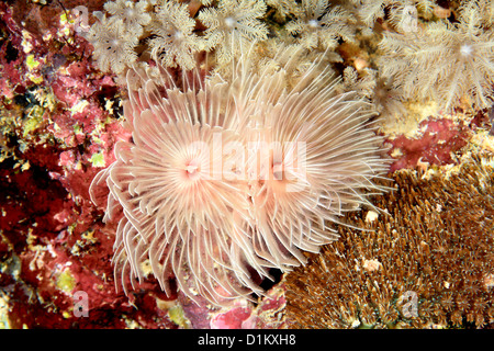 Magnificent Tube Worm, Protula bispiralis, previously Protula magnifica. - Stock Photo