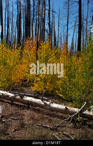 Young Aspen trees in fall, with fire-damaged Lodgepole Pines, Kaibab National Forest, Grand Canyon National Park, - Stock Photo