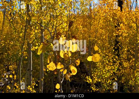 Aspen trees in fall, Kaibab National Forest, Grand Canyon National Park, Arizona, USA - Stock Photo