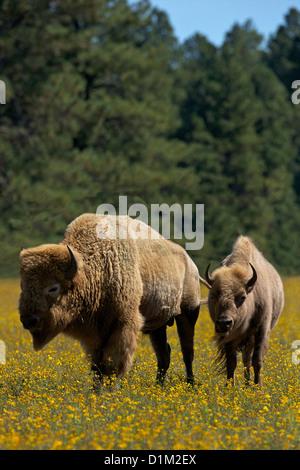 White bison or buffalo, Bearizona Wildlife Park, Williams, Arizona, USA - Stock Photo