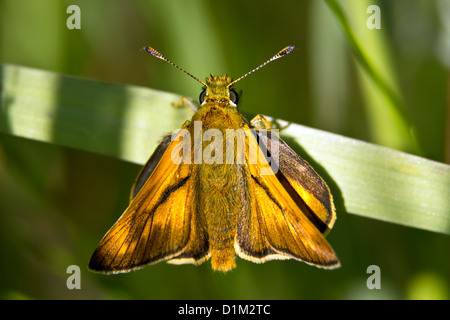 Thymelicus lineola - day butterfly on green grass. - Stock Photo