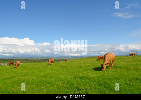 Cows grazing in the meadow in an Irish landscape. - Stock Photo