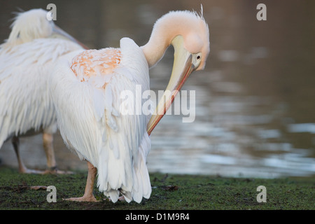 pelicans on the lake in London England Great White Pelican Pelecanus onocrotalus - Stock Photo