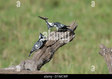 Pied Kingfisher feeding her chick - Stock Photo