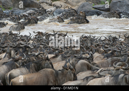 Blue wildebeeste crossing during migration - Stock Photo