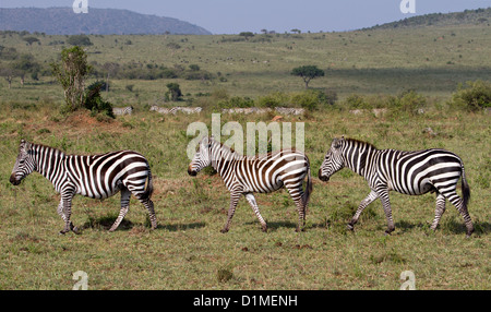 Three Zebras Walking in a row, Masai Mara National Reserve, Kenya, Africa - Stock Photo
