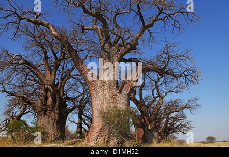 famous Baines Baobabs, the sleeping sisters, Botsuana - Stock Photo