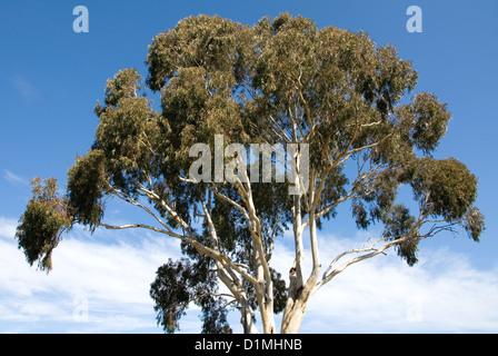 bark blue gum tree eucalyptus lake te anau south. Black Bedroom Furniture Sets. Home Design Ideas