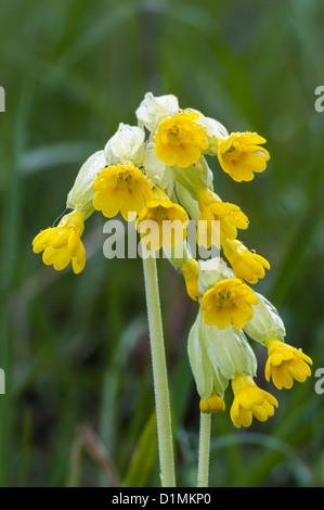 Primula veris Cowslip - Stock Photo