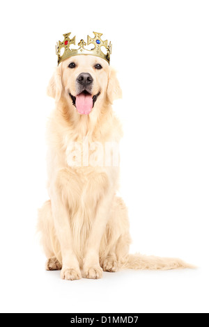 A studio shot of a labrador retriever with crown on his head isolated against white background - Stock Photo