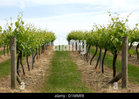 Grapevines growing in a vineyard near Young, in South-Western New South Wales, Australia - Stock Photo