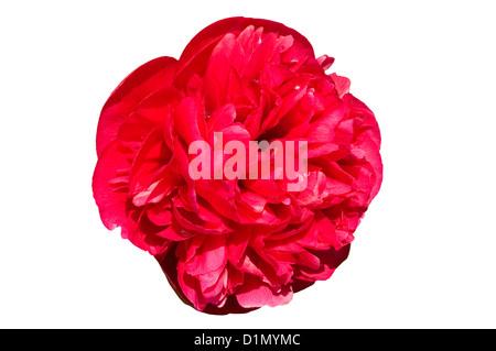 Red Peony 'Paeonia' - Stock Photo