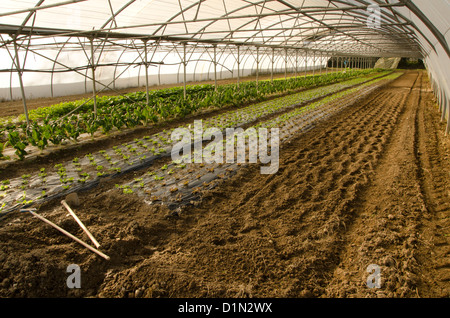 Greenhouse with fresh plantation of lettuce in France. - Stock Photo
