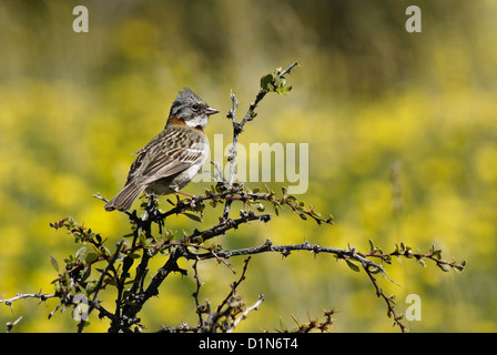 Rufous-collared sparrow in Torres del Paine National Park, Patagonia, Chile - Stock Photo