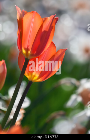 Orange spring tulips in bloom with daffodil flowers on the background - Stock Photo