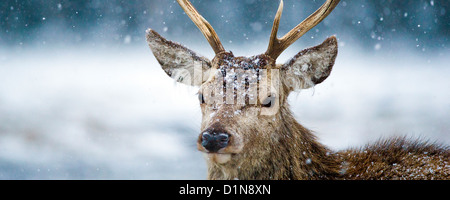 Red deer stag in a snowstorm a panoramic image photographed in the Cairngorms the Scottish highlands - Stock Photo