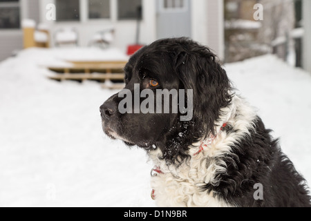 A black and white large mixed breed dog in a snowy backyard. - Stock Photo