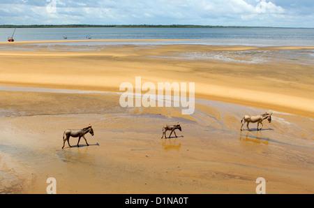 Donkey family on the beach, Lamu Island, Kenya, East Africa - Stock Photo