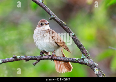 Luscinia luscinia. The Thrush Nightingale perching on a branch of the tree. - Stock Photo