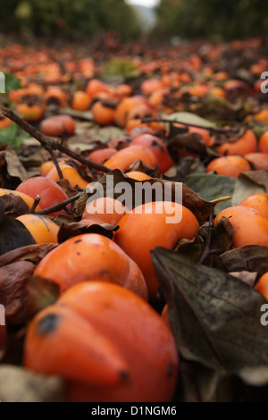 unpicked Persimmon fruit trees in a plantation Photographed in December in Israel - Stock Photo