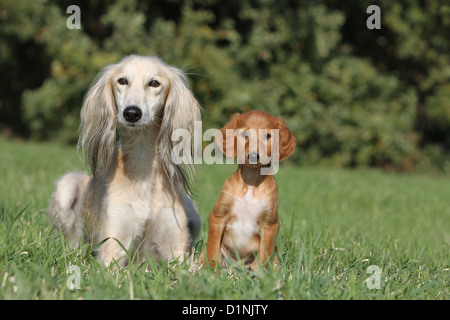 Dog Saluki / Persian Greyhound adult and puppy face - Stock Photo