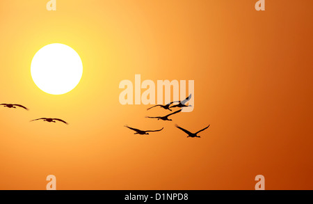 Demoiselle crane(Anthropoids Virgo),Crane,Bird,Wildlife,Flock of bird,Animal  in wild,Sunset,Sunrise,Sunlight,Sunset - Stock Photo