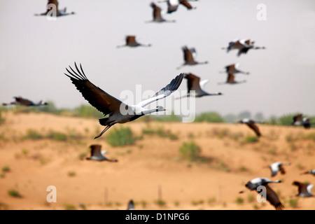 Flock of Demoiselle crane - Stock Photo