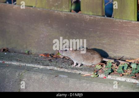 BROWN RAT, Rattus norvegicus. UK - Stock Photo