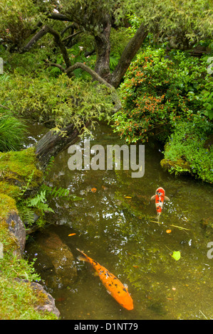 A golden koi carp in the pond stock photo royalty free for Koi pond japanese tea garden san francisco