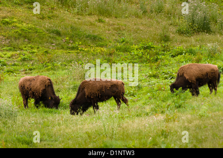 Bison in the Golden Gate Park Buffalo Paddock, San Francisco, California - Stock Photo