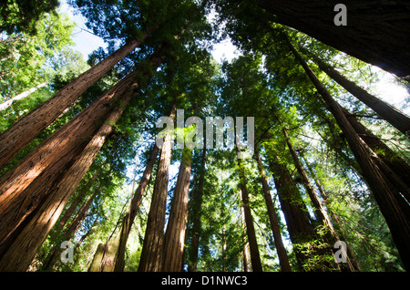 Redwoods in Cathedral Grove, Muir Woods National Monument, California, USA - Stock Photo